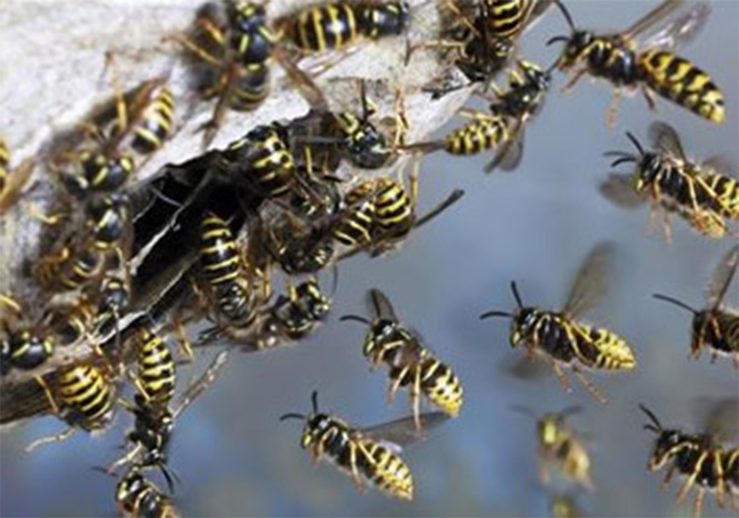 Wasp Control Altrincham 24/7, same day service, fixed price no extra!