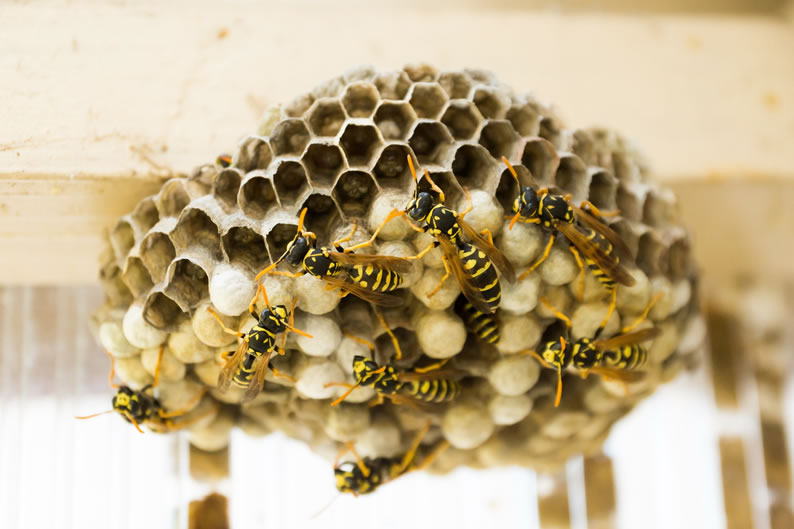 Wasp Control Bramhall - Wasp nest treatment 24/7, same day service, covering Bramhall, Stockport and cheshire, fixed price no hidden extras!